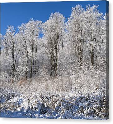 Snow Covered Maple Trees Iron Hill Canvas Print by David Chapman