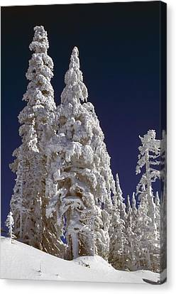 Snow-covered Pine Trees On Mount Hood Canvas Print by Natural Selection Craig Tuttle