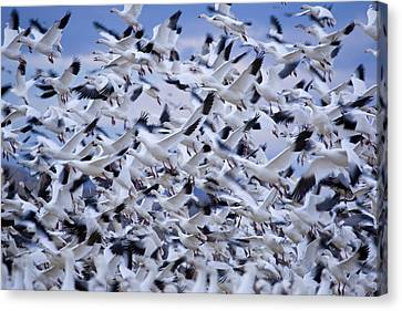Snow Geese Chen Caerulescens Fly Canvas Print by Ralph Lee Hopkins