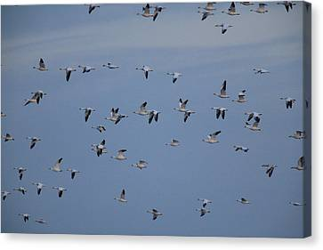 Snow Geese In Flight Canvas Print by George Grall