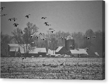 Canvas Print featuring the photograph Snow Geese by Kelly Reber