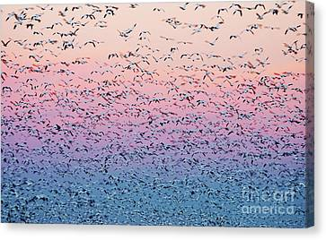 Snow Geese Liftoff Canvas Print by Susan Isakson