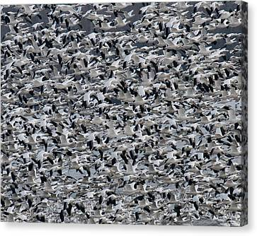 Snow Geese Takeoff Canvas Print