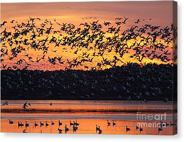 Snow Goose Sunset Canvas Print by Ursula Lawrence