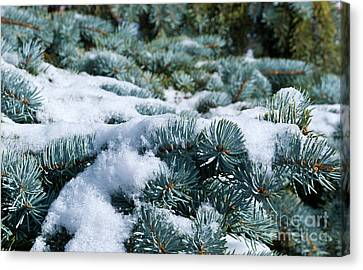 Canvas Print featuring the photograph Snow In The Pines by Charles Lupica