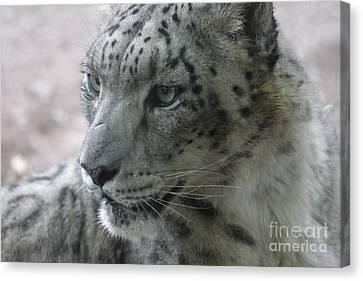 Snow Leopard Profile Canvas Print by Chris Hill