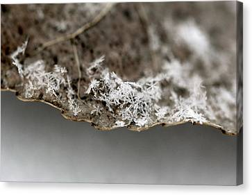 Snow On A Leaf Canvas Print
