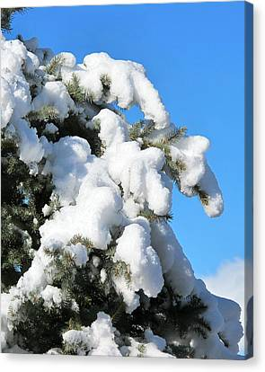 Snow On Pine Pack Canvas Print by Phyllis Kaltenbach