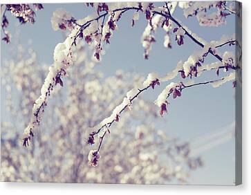 Snow On Spring Blossom Branches Canvas Print by Bonita Cooke