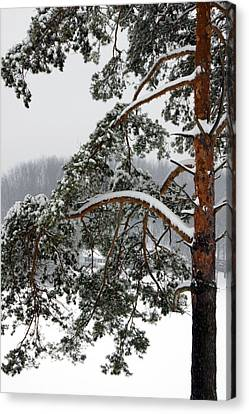 Canvas Print featuring the photograph Snow Pine by Michelle Joseph-Long