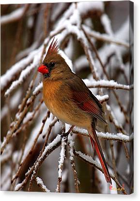Canvas Print featuring the photograph Snowbirds--cardinal Dsb025 by Gerry Gantt
