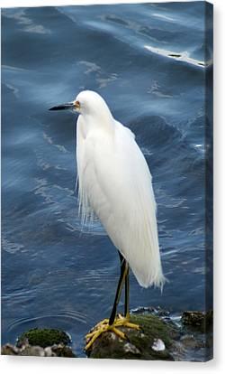 Snowy Egret 1 Canvas Print by Joe Faherty