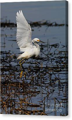 Snowy Egret . 7d11958 . Vertical Cut Canvas Print by Wingsdomain Art and Photography
