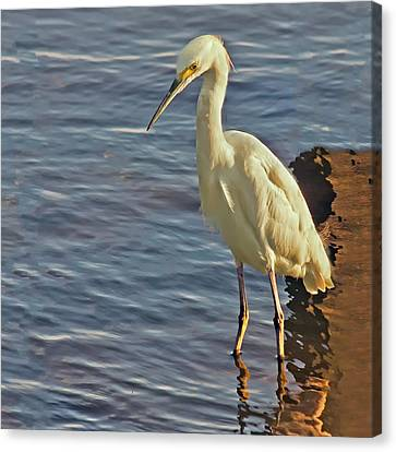 Snowy Egret At Sunrise Canvas Print by Sandra Anderson