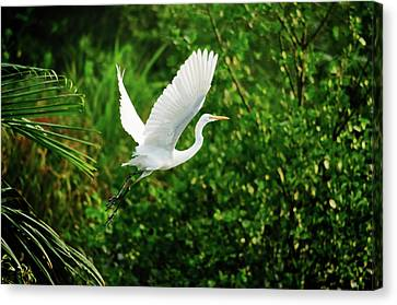 Mangrove Forest Canvas Print - Snowy Egret Bird by Shahnewaz Karim