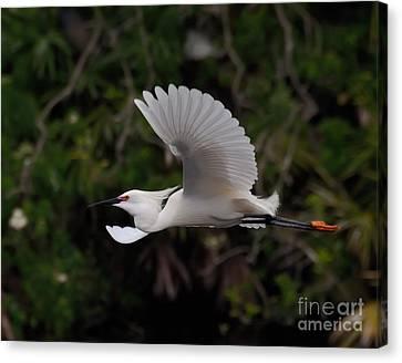 Snowy Egret In Flight Canvas Print by Art Whitton