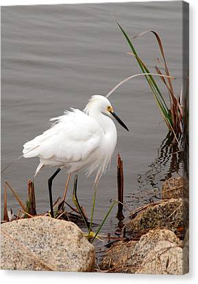 Canvas Print featuring the photograph Snowy Egret by Kay Lovingood
