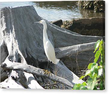 Canvas Print featuring the photograph Snowy Egret by Laurel Best