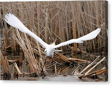 Canvas Print featuring the photograph Snowy Egret Liftoff by Mark J Seefeldt