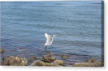 Canvas Print featuring the photograph Snowy Egret by Marilyn Wilson