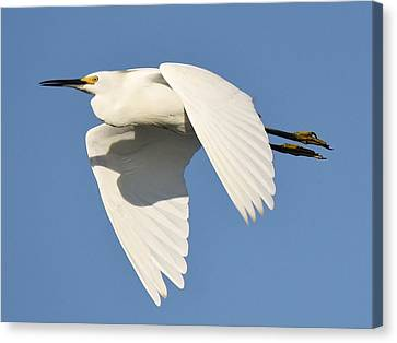 Snowy Egret Canvas Print by Paulette Thomas