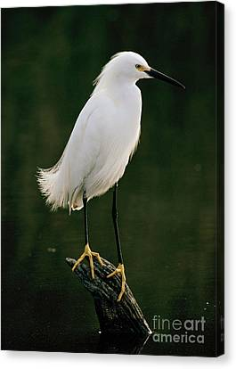 Canvas Print featuring the photograph Snowy Egret Portrait by Doug Herr