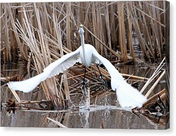 Canvas Print featuring the photograph Snowy Egret Takeoff by Mark J Seefeldt