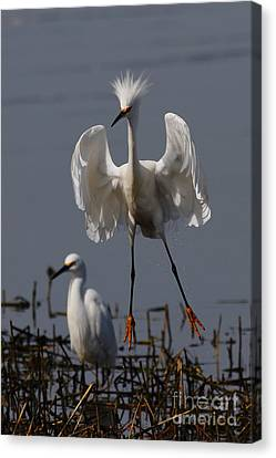 Snowy Egret . They Call Me Happy Feet Too . 7d12044 Canvas Print by Wingsdomain Art and Photography