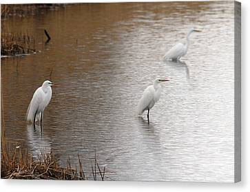 Canvas Print featuring the photograph Snowy Egret Trio by Mark J Seefeldt