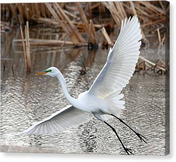 Canvas Print featuring the photograph Snowy Egret Wingspan by Mark J Seefeldt