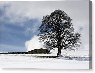 Snowy Field And Tree Canvas Print by John Short
