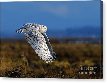 Snowy Owl 1b Canvas Print by Sharon Talson