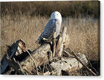 Snowy Owl At Boundary Bay B.c Canvas Print by Pierre Leclerc Photography