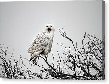 Snowy Owl In A Tree Canvas Print by Pierre Leclerc Photography