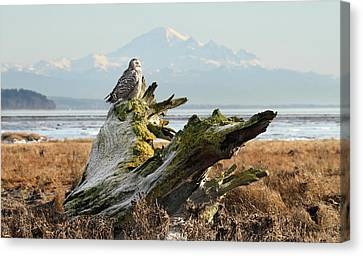 Snowy Owl In Boundary Bay With Mt Baker Canvas Print by Pierre Leclerc Photography