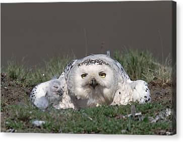 Snowy Owl Nyctea Scandiaca Mother Canvas Print by Konrad Wothe