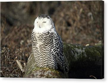 Snowy Owl  Canvas Print by Pierre Leclerc Photography