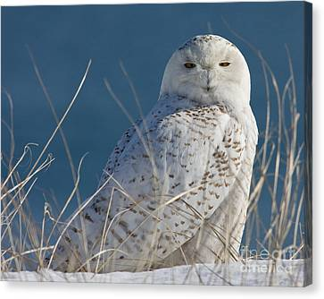 Snowy Owl Profile Canvas Print