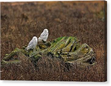 Canvas Print featuring the photograph Snowy Owls by Scott Holmes