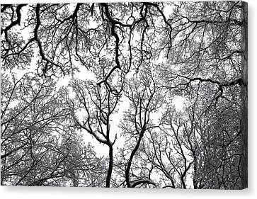 Snowy  Trees Canvas Print by Richard Newstead