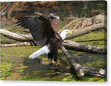 Canvas Print featuring the photograph Soaring Eagle by Elizabeth Winter