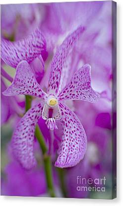 Soft On Orchids Canvas Print by Jacky Parker