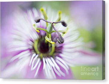Passionflower Canvas Print - Soft Passion by Jacky Parker