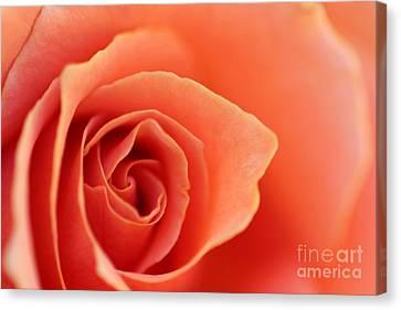 Soft Rose Petals Canvas Print by Henrik Lehnerer