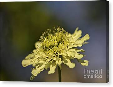 Canvas Print featuring the photograph Soft Yellow. by Clare Bambers