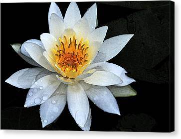 Solo Water Lily Canvas Print