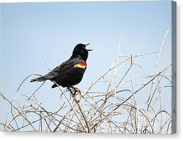 Song Of A Red-winged Blackbird Canvas Print by Ellie Teramoto