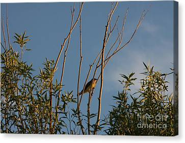 Canvas Print featuring the photograph Songbird by Marta Alfred