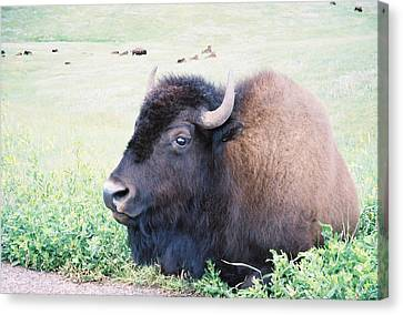 South Dakota Bison Canvas Print