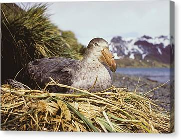 Southern Giant Petrel Canvas Print by Peter Scoones